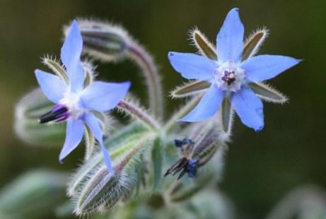 cvijet boražine