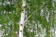 Breza elegantno stablo s iznimnim ljekovitim svojstvima