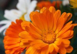 Ljekovita svojstva bilja, ljekovi naših baka - ljekovita svojstava nevena