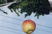 Jabuka u tradicionalnim svatovima