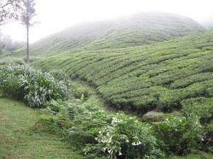 hiking-in-the-cameron-highlands-Tea