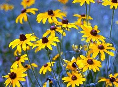 Happy Black-eyed Susans and the State of the Family in America
