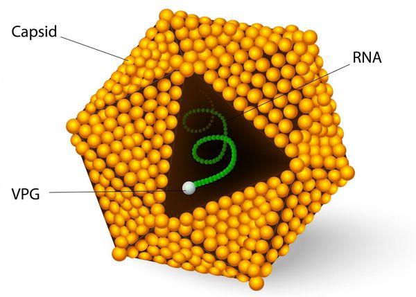 Struktura wirusa zapalenia wątroby