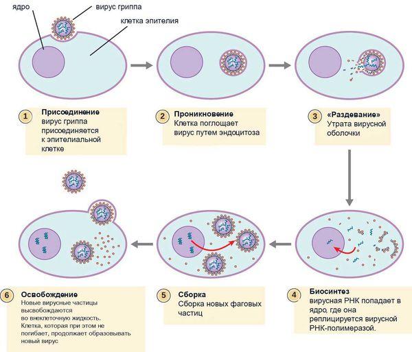 Как вирус проникает в клетку