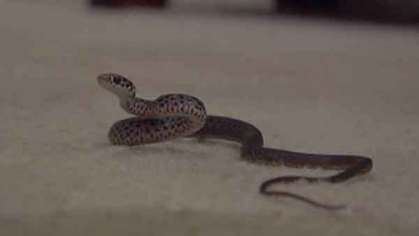 A Florida couple says their landlord hasn't done enough to get rid of the snakes infesting their home. (Source: WFTX/CNN)