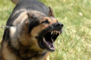 Animal Bites are most common from domestic dogs.