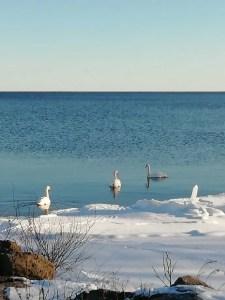 Cisnes en Skäppevik