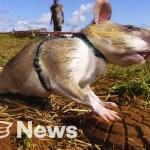 Giant Rats Are Sniffing Out Landmines and Tuberculosis