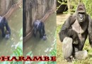 Gorilla 440lb Drags 3-year-old and Gets Shot Just For Playing #Harambe