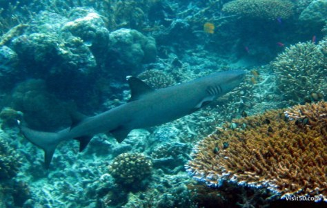 Whitetip Reef shark - notice the white on the tip of his fin. Swimming in shark infested waters