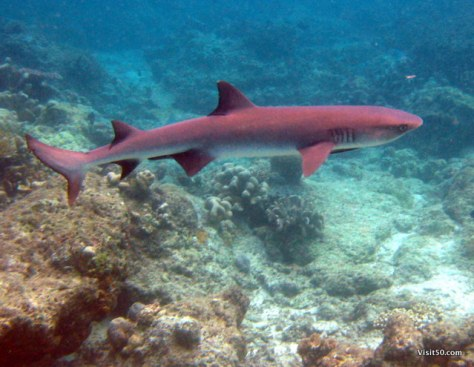 I saw plenty of these Whitetip Reef Sharks in the Semporna Archipelago