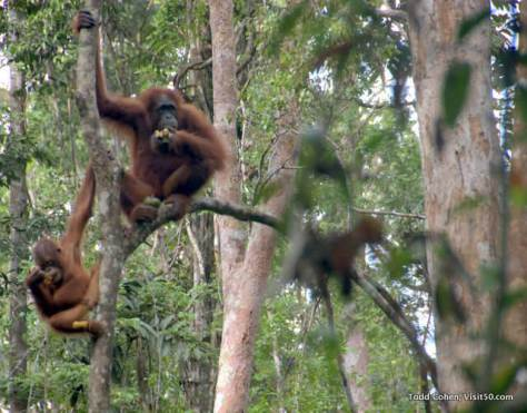 Orangutans are the largest tree dwelling mammal in the world