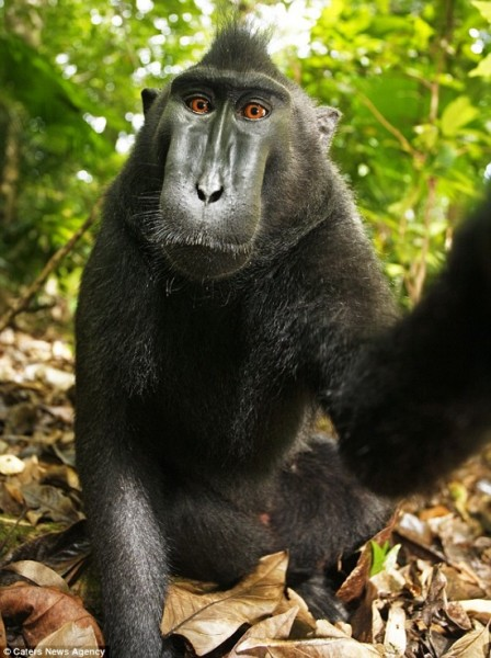 Sulawesi Sulawesi crested black macaque / crested black monkey - facebook style monkey self-portrait. monkey selfie! Visit50.com