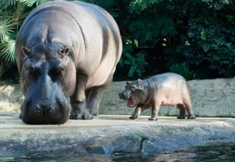 A baby hippo and his mother. Best Animal Photos of 2011
