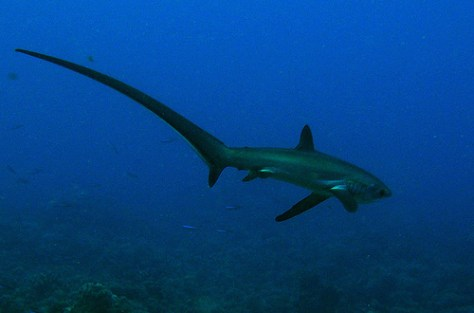 A thresher shark showing off its impressive tail - thresher sharks Philippines