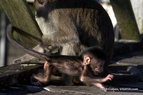 Baby Monkeys in Borneo - crawling