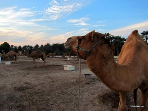 Sunset at the Royal Camel Farm in Bahrain