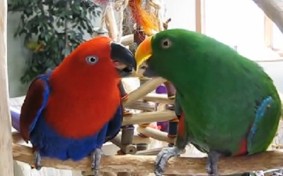 eclectus youtube 1 - How to determine the sex of your parrot