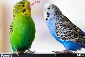 perruches ondulées male et femelle