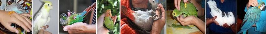 taille oiseau : perruches et perroquets