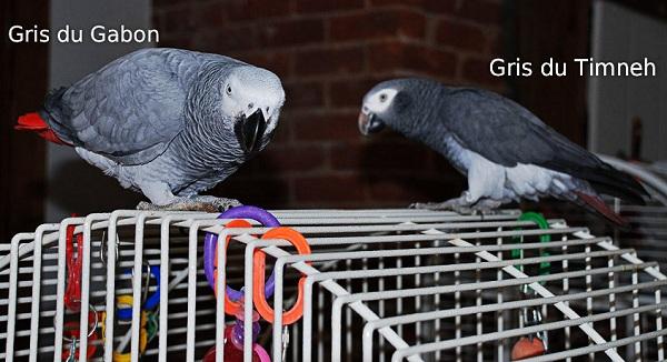 Perroquets Gris du Gabon et Gris du Timneh