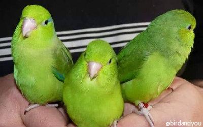 Toui céleste ou perruche moineau-Petit perroquet