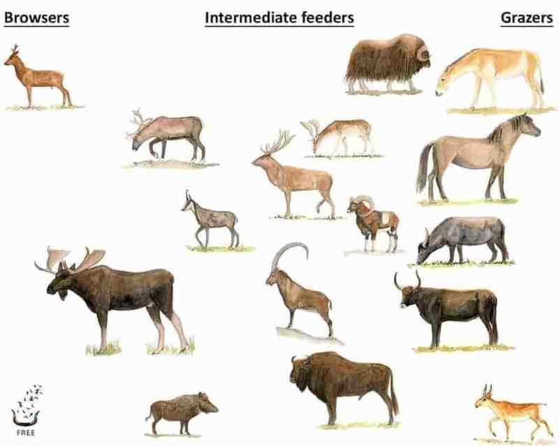 Indigenous European large herbivores
