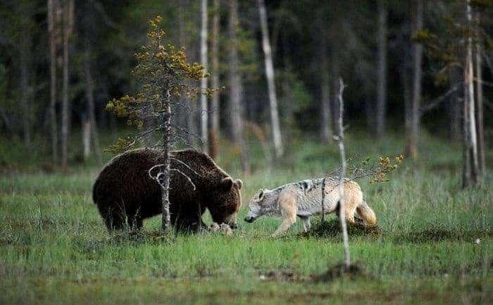 European Wilderness means also carnivors