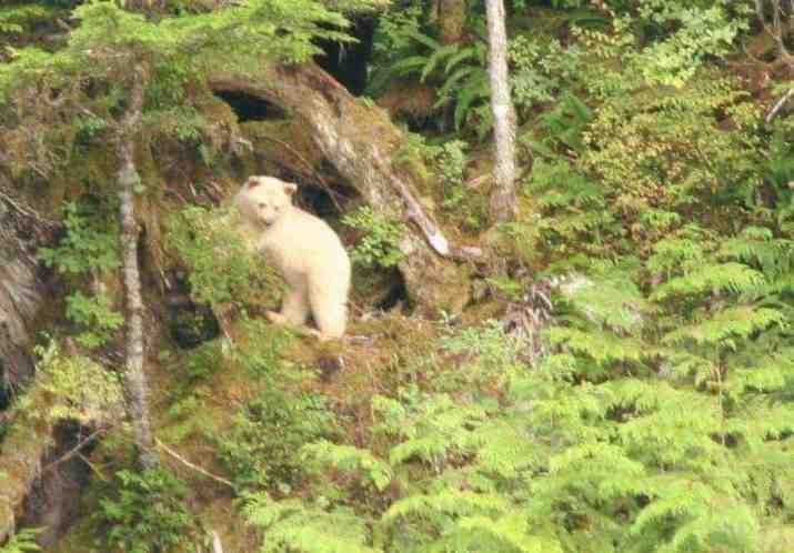 Spirit Bear in the Great Bear Rainforest