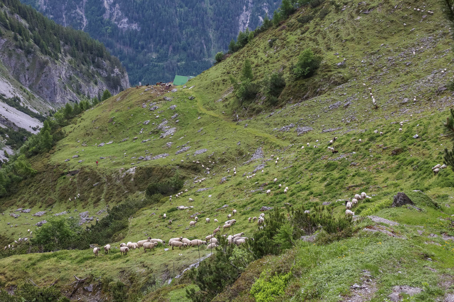Sheepherding Switzerland © Ch-Wolf - © All rights reserved