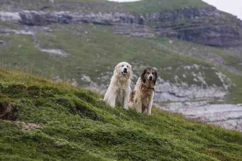 Sheepherding Switzerland