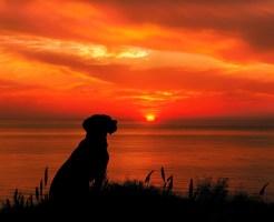 夕日を眺める犬