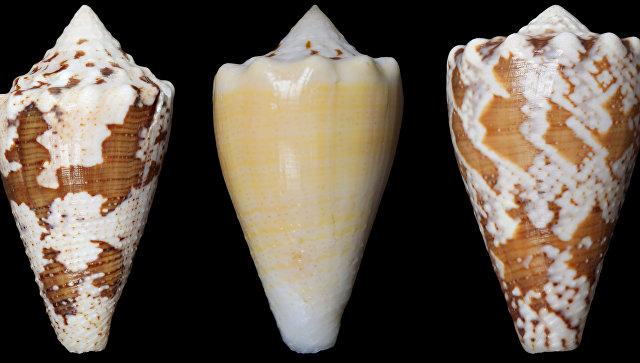 Раковины улиток-убийц в яде которых ученые нашли обезболивающее