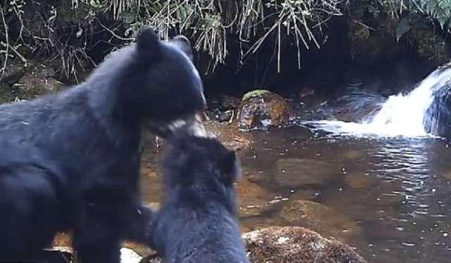 Медведица прибегла к жестким мерам воспитания своего детеныша 0 Автор Александра Дементьева