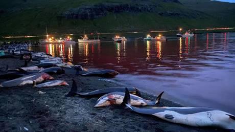 Рекордная кровавая охота на датских Фарерских островах убивает почти 1500 дельфинов
