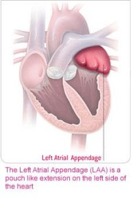 left atrial appendage may be important for heart repair