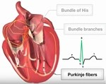 Video - Cardiac conduction system at A-Fib.com