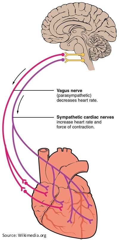 vagus nerve diagram christmas lights coldplay illustration the vagal atrial fibrillation resources for patients a fib com