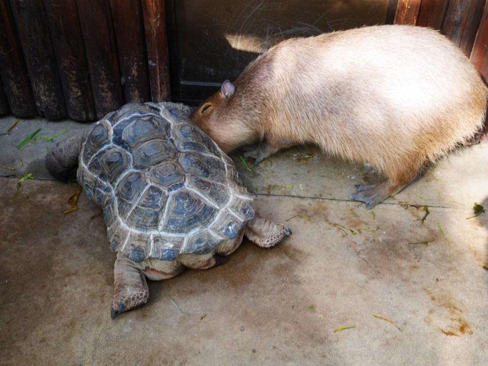 Une tortue et un capybara