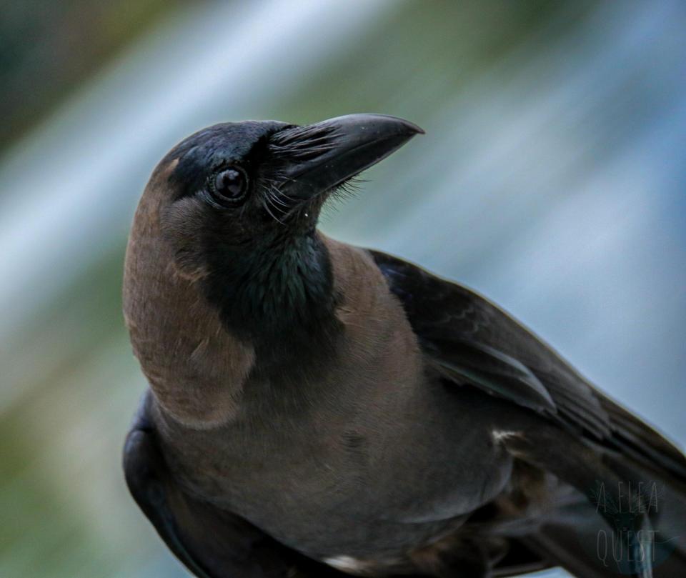 Nos amis les corbeaux