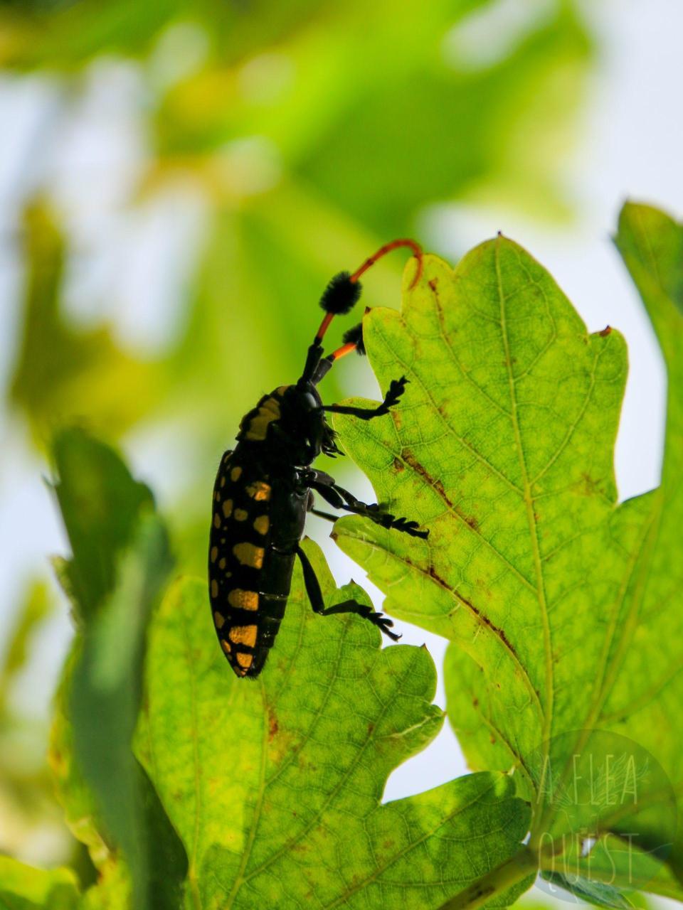 Un insecte avec des pompoms !
