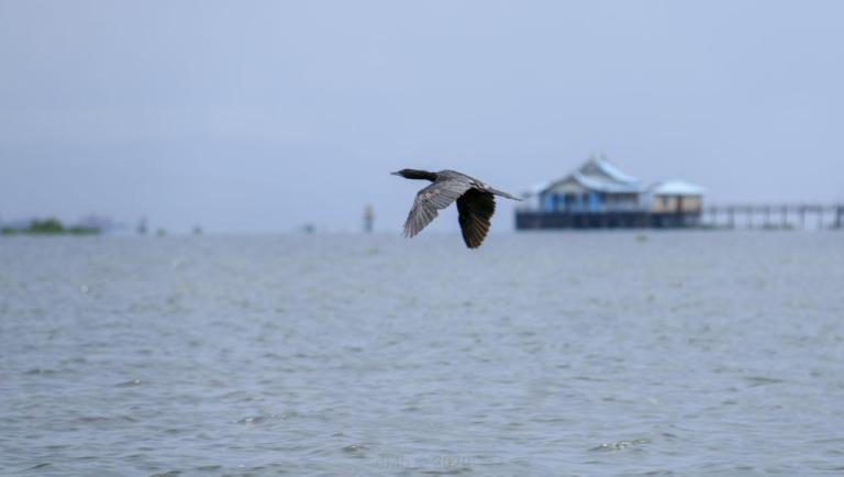 Cormoran au vol - © dMb 2020
