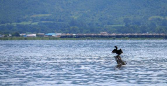 Cormoran ouvrant les ailes pour s'aérer au lac de Inle - © dMb 2020
