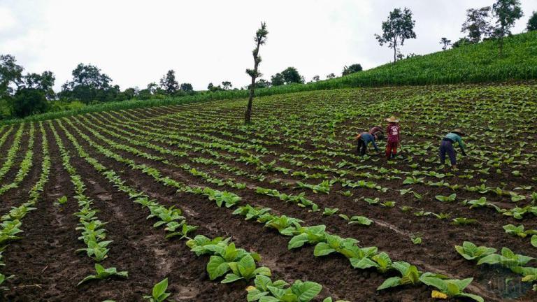 Agriculteurs dans un champ de tabac