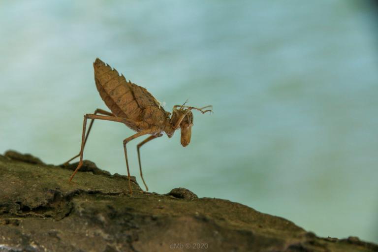 Mue d'un insecte pris par Dante