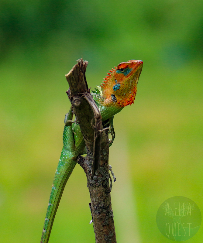 Calotes calotes, lézard se rencontrant uniquement en Inde et au Sri Lanka, que j'ai confondu d'abord avec un caméléon puisque sa tête change de couleur. J'apprends ce jour que les lézards peuvent aussi changer de couleur.