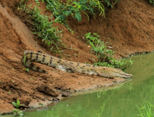 Crocodile à Udawalawe