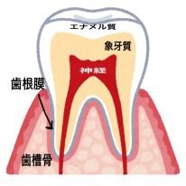 歯が黄色っぽく見える理由