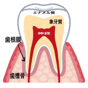健康な歯が動く理由