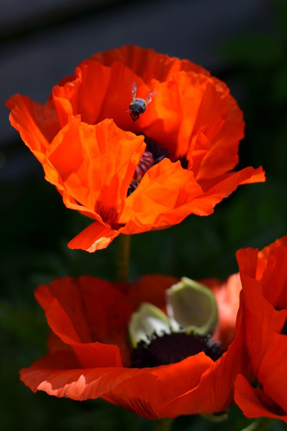 Puutarhan kukkaloistoa: Unikot